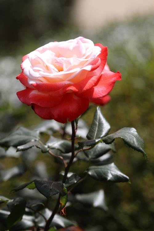 furukawa-rose_0030f.jpg