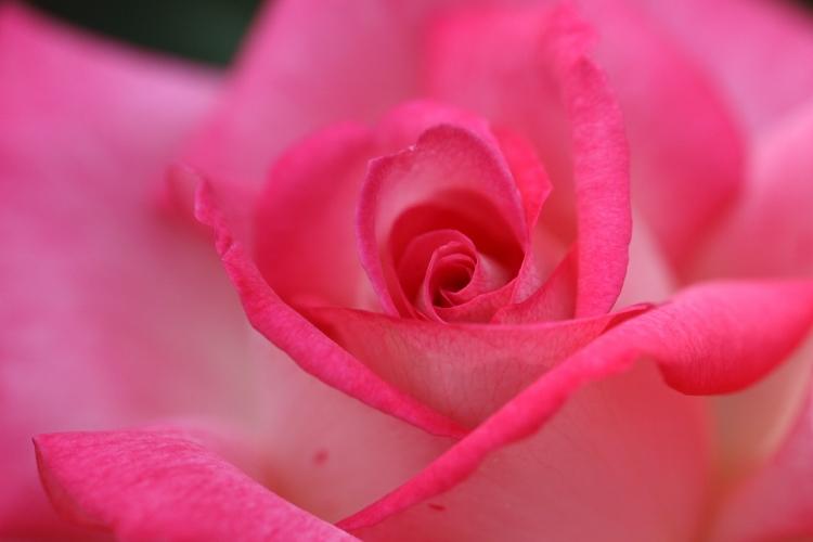furukawa-rose_0032f.jpg