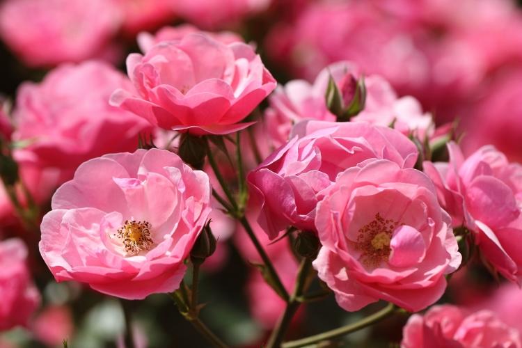 furukawa-rose_0033f.jpg