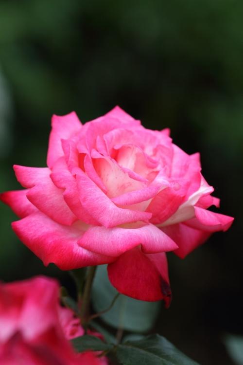 furukawa-rose_0035f.jpg