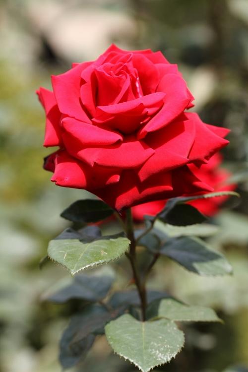 furukawa-rose_0038f.jpg