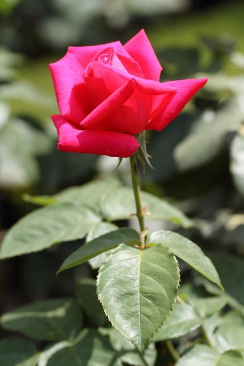 furukawa-rose_0044f.jpg