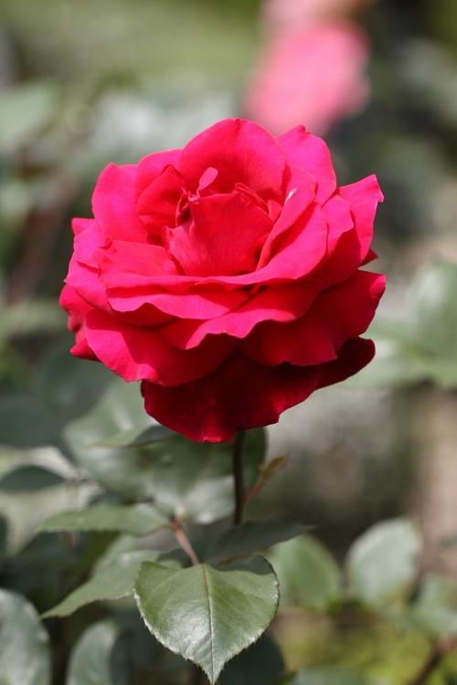 furukawa-rose_0050f.jpg