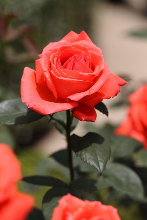 furukawa-rose_0053f.jpg