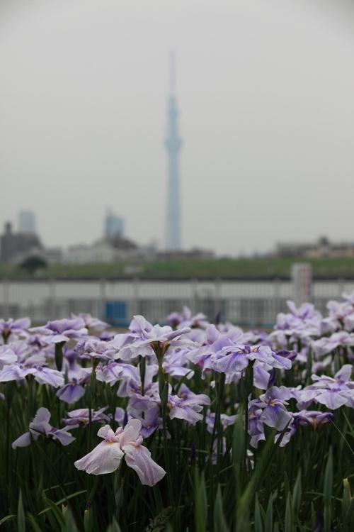 horikiri-shobu_0052f.jpg