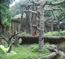 Zoo ゴリラ