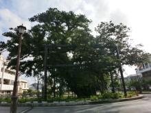 $テツヲの取り扱い説明書-ガジュマルの木