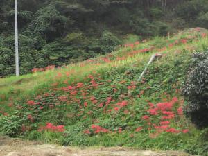 20120929彼岸花2