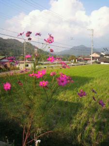 20121015し~ちゃんちのコスモス