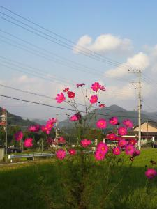 20121015し~ちゃんちのコスモス2