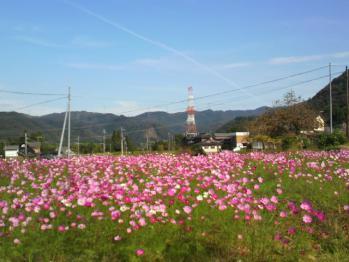 20121104コスモス~♪2