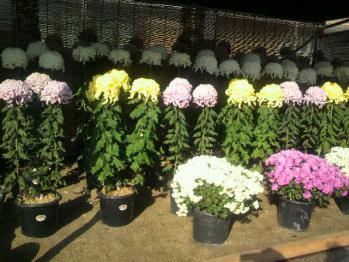 20121112万博公園菊