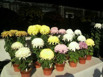20121112万博公園菊2