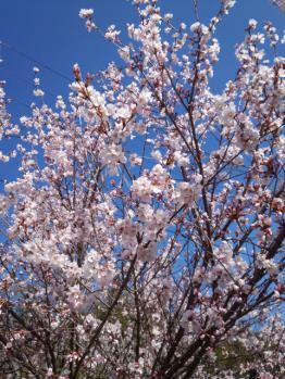 20130322桜~♪