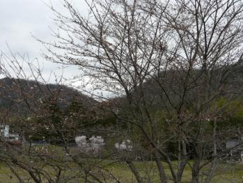 20130328桜
