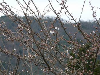 20130328桜2