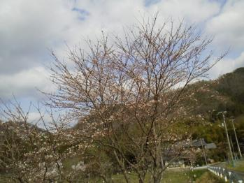 20130330さくら~♪