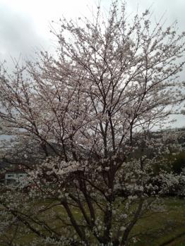 20130403桜