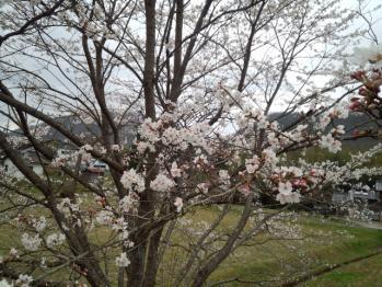 20130403桜2