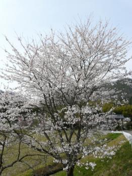 20130404桜
