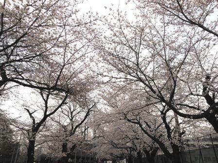 哲学道公園の桜