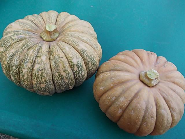 Aidzu pumpkin 20141212