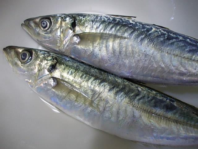 Aji fish 20141110