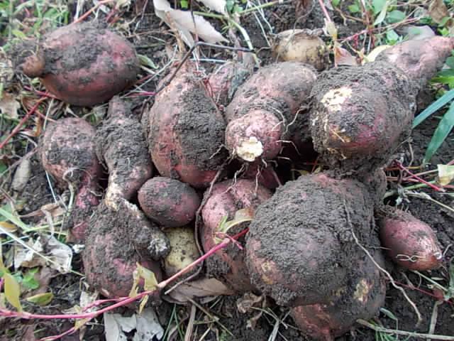 Annou sweet potato 20141212