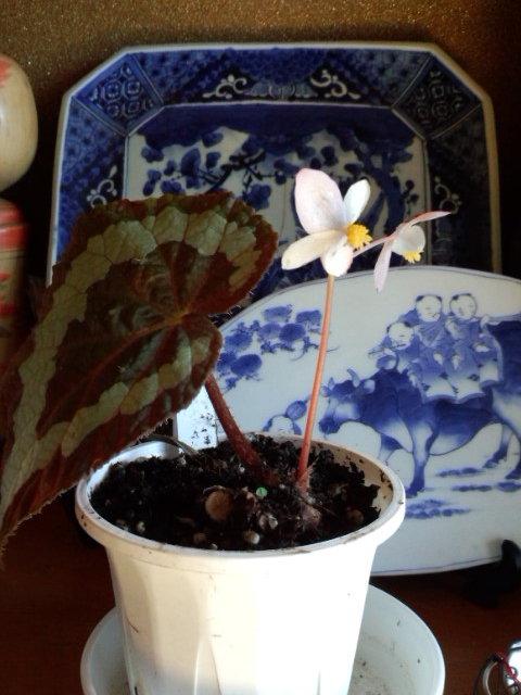 Begonia rex 20141127