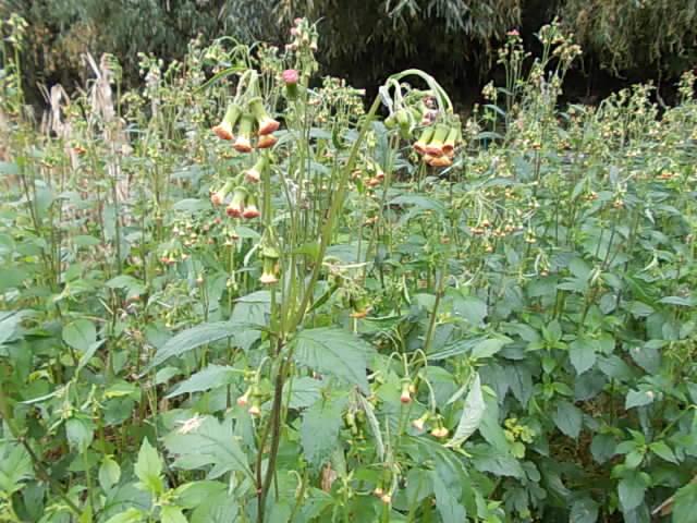 Benibanaborogiku weed 20141130