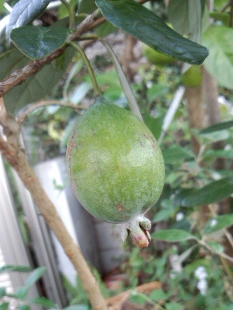 Feijoa 'Apollo' 20141023