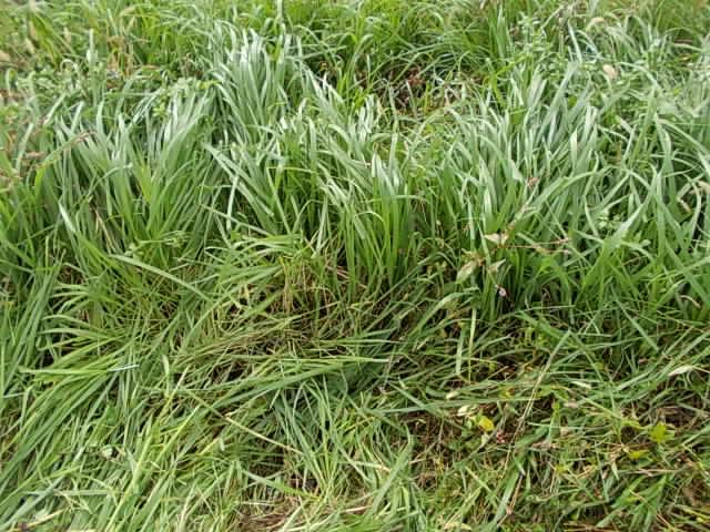 inumugi weed 20141128