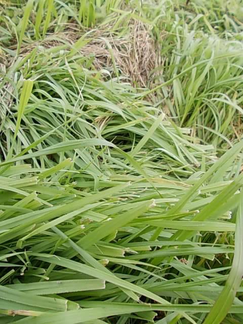Inumugi weed 20141210