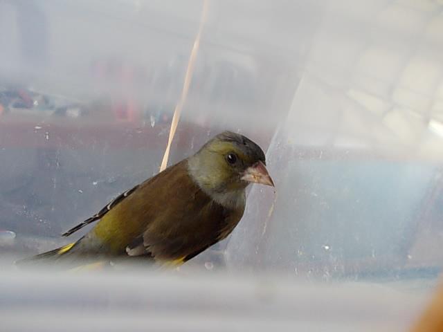 Kawarahiwa oriental greenfinch 20141206