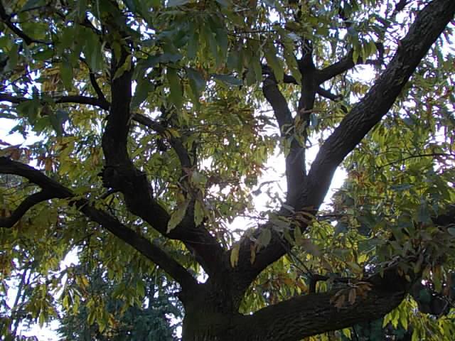 Kunugi oak 20141120