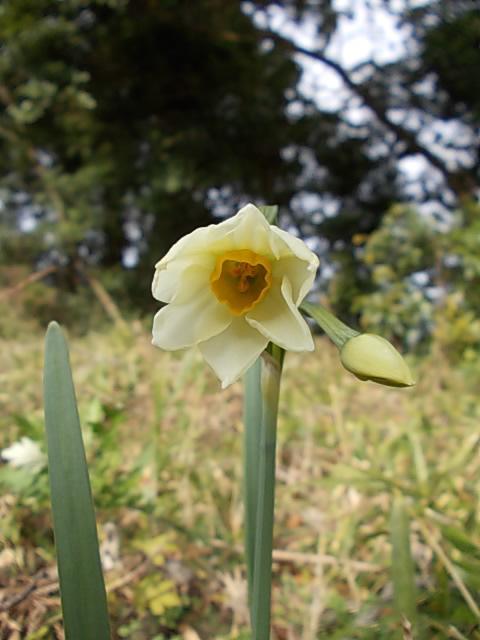 Narcissus 20141210