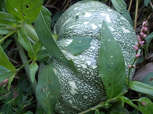Aizu pumpkin 20141015