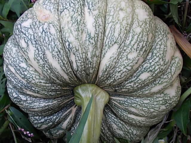 Pumpkin, Aidu 20141026
