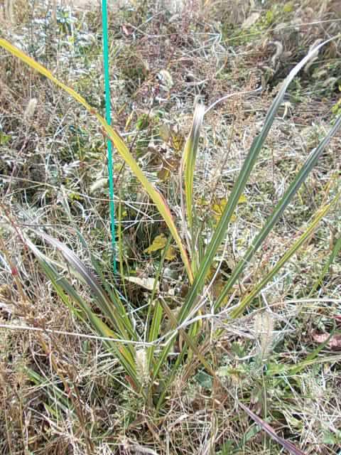 Susuki weed 20141123