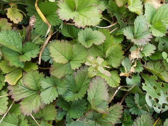 Fake wild strawberry weed 20141130
