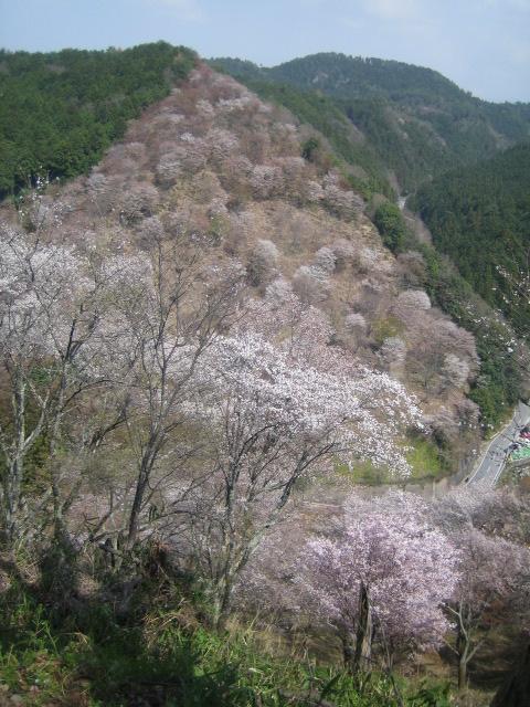 世界遺産 奈良 吉野山 桜
