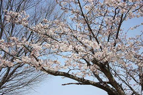 公園の桜♪