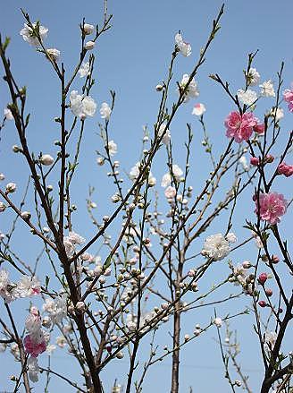 桃の木かな♪