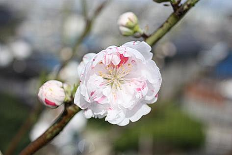 白にピンクの花・・・
