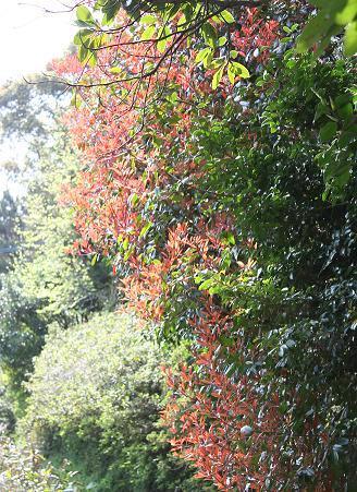 紅葉の様な新芽♪
