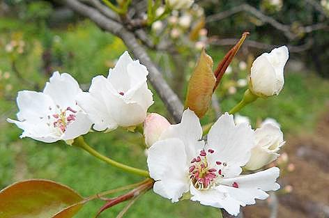 開花した梨の花♪
