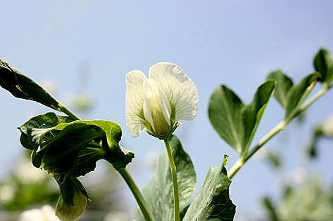スナップエンドウの花♪