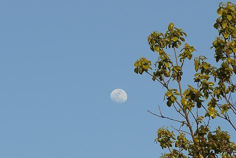 柿の新芽とお月様♪