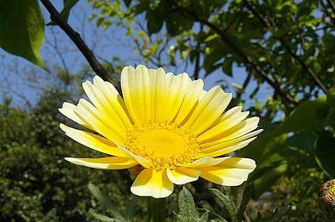 春菊の花♪