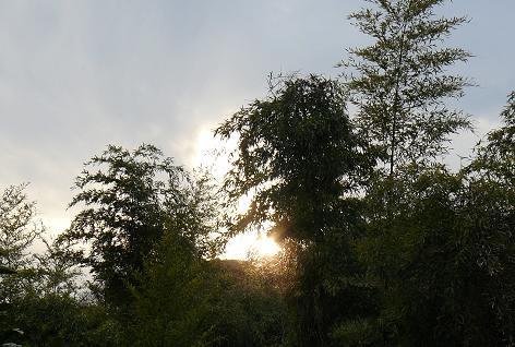 淡竹の藪に夕陽♪